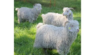 Venez visiter mon élevage de chèvres Angora